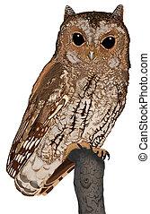Flammulated Owl - Otus flammeolus