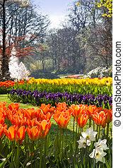 flamy, naranja, tulipanes, en, primavera, parque