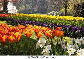flamy, tulips, оранжевый, парк, весна
