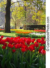 flamy, tulips, парк, красный, весна