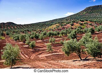 flanco, colina, árbol, aceituna