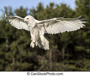 Flaps down - Snowy Owl coming in for a lading