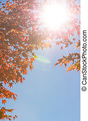 Flare picture of Red maple leaves on tree with sunlight