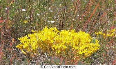 Flashy bright yellow plant Sedum (Sedum acre) among meadow grass. Over flowers fly syrphids.