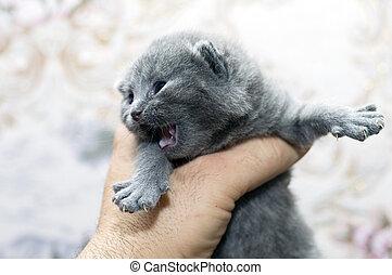 flashy Scottish kitten in hand