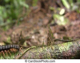 Flat-backed millipede (Polydesmidae) - Walking along a...