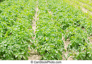 Flat beds in the field with potatoes. Green potato bushes with potato tubers .. Farmer field, organic farming of fruits and vegetables, agro-industry, agriculture. Cultivation and harvesting.
