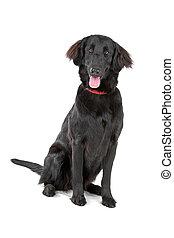 flat-coated retriever dog