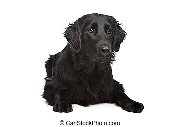 Flat-Coated Retriever in front of a white background