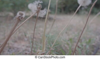 Flat color sliding camera over Taraxacum officinale -...