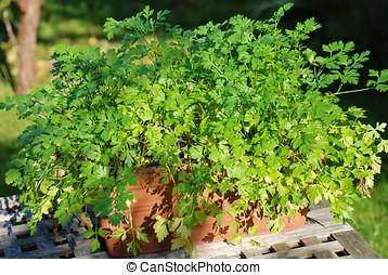 Flat leaved parsley - A terracotta pot of flat leaved...