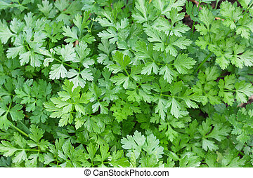 Flat leaved Parsley in a pot