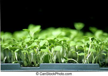 Flat of Broccoli Seedlings
