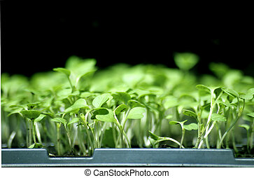 Seedlings - Flat of Broccoli Seedlings