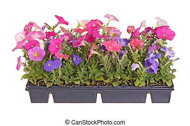 Side view of a flat containing seedlings of petunia plants flowering in multiple colors ready for transplanting into a home garden isolated against a white background