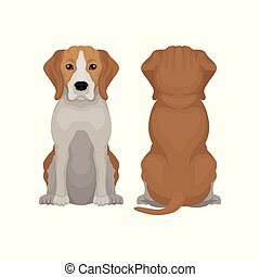 Illustration of sitting beagle dog. Small short-haired puppy with long ears and adorable muzzle. Domestic animal. Front and back view. Element for promo poster of vet clinic. Isolated flat vector icon