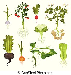 Flat vector set of vegetables with roots. Organic and healthy food. Natural farm products. Cultivated plants