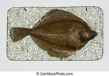 Flatfish - Pleuronectes platessa, Plaice, Plie d'Europe