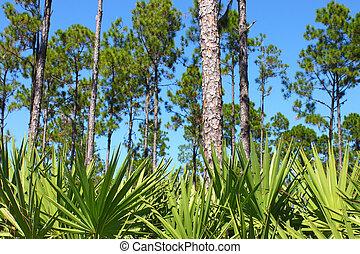 flatwoods, -, florida, dennenboom