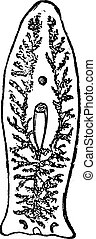 Flatworm or Platyhelminthes or Plathelminthes, vintage engraved illustration. Flatworn on white. Trousset encyclopedia (1886 - 1891).
