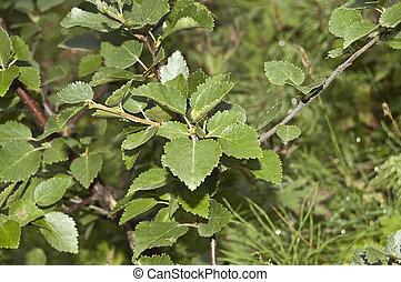 flaumig, (betula, birke, pubescens)