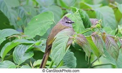 Flavescent Bulbul Pycnonotus flavescens Beautiful Birds of...