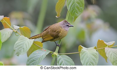 Flavescent Bulbul Pycnonotus flavescens Beautiful Birds of...