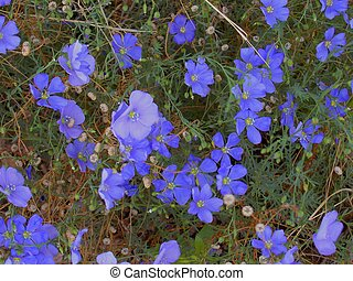 Flax 2 - Blue flax, once part of a thriving natural fiber...