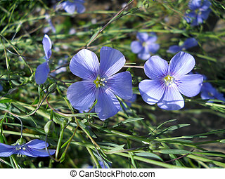 flax blooms