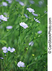 Flax Crop Blooming