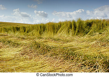 Flax field during harvest at summer day