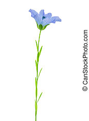 Flax Flower isolated on white