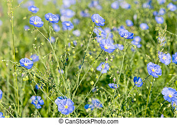 flax flowers blooming
