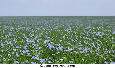 Flax flowers swaying on wind - Big field of blue flax...