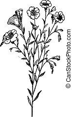 Flax or Linum usitatissimum, vintage engraving - Flax or ...