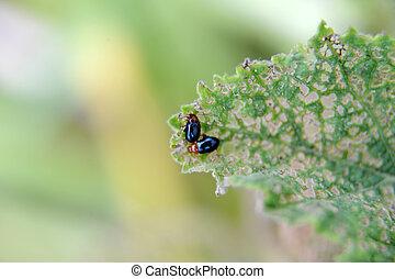 flea beetles on a hollyhock