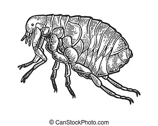 Flea louse insect engraving vector illustration. Scratch...