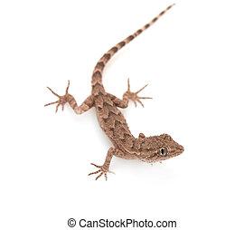 fleckig, brauner, reptil, freigestellt, oben, weißes, gecko,...