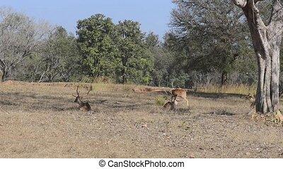 fleckig, hirsch, (axis, axis), nationalpark, indien