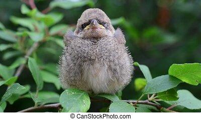 fledgeling, peching, дерево, зеленый, прут, whitethroat