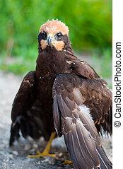 Fledgling birds of prey in nature