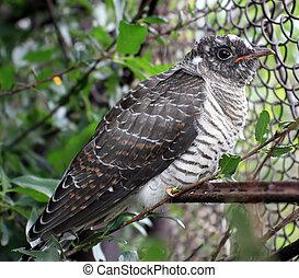 Fledgling cuckoo sitting on a twig (Cuculus canorus)