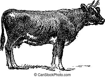 Flemish cattle breed, vintage engraving.