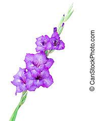 flerfärgad, blomningen, gladiolus