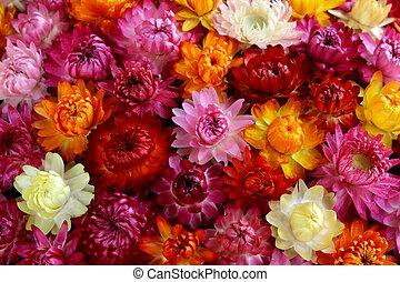 flerfärgad, höst, blomningen