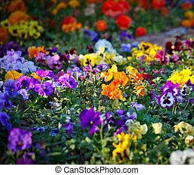 flerfärgad, viol blommar