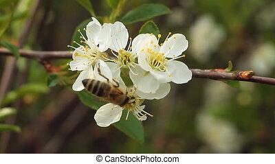 fleur, 1, pomme