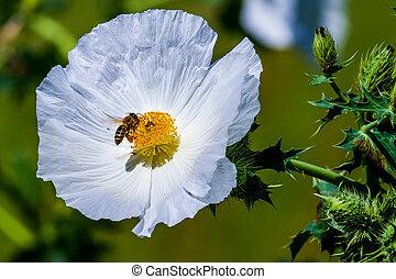 fleur, abeille, miel, wildflower, closeup, pavot, blanc, épineux