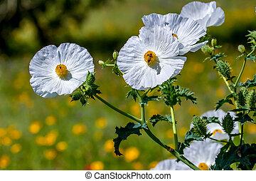 fleur, abeille, miel, wildflower, closeup, pavot, blanc, texas, épineux