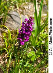 fleur, alpin